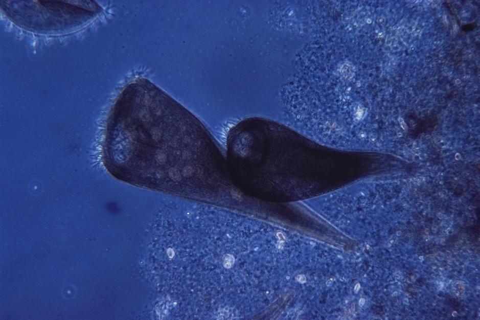 Beestenboel: het ééncellige trompetdiertje kan zichzelf regenereren