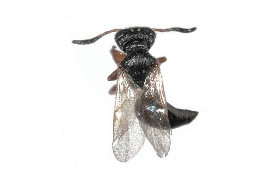 Beestenboel: tangwespen determineren is specialistenwerk