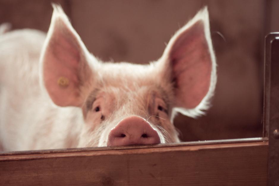 Dierenrechten: filosoof Thomas Macho hekelt onze tegenstrijdige omgang met varkens