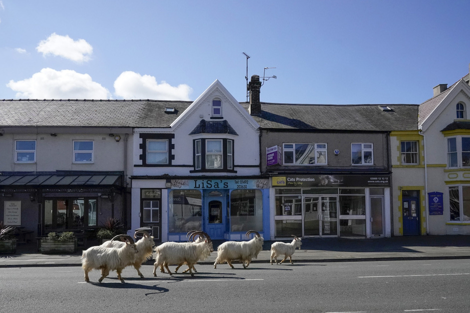 In beeld: wilde geiten wandelen door uitgestorven dorpje in Wales