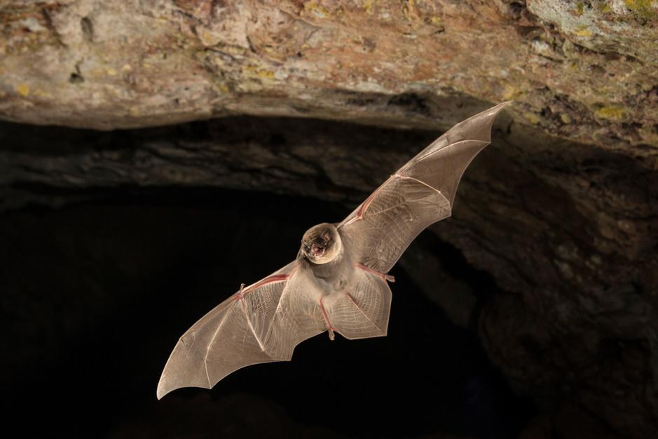 Moeten we vleermuizen nu koesteren of vrezen?
