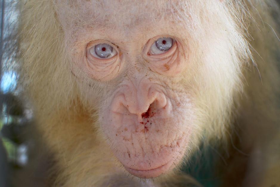 In beeld: zeldzame dieren met albinisme of leucisme