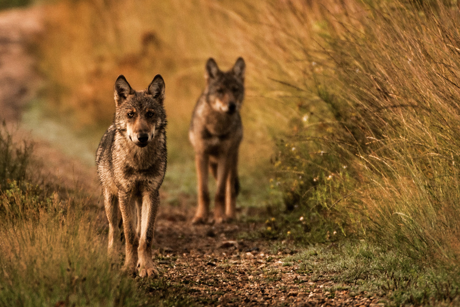 Op wolvenwandeling: 'Schapen zijn als conserven voor een wolf'
