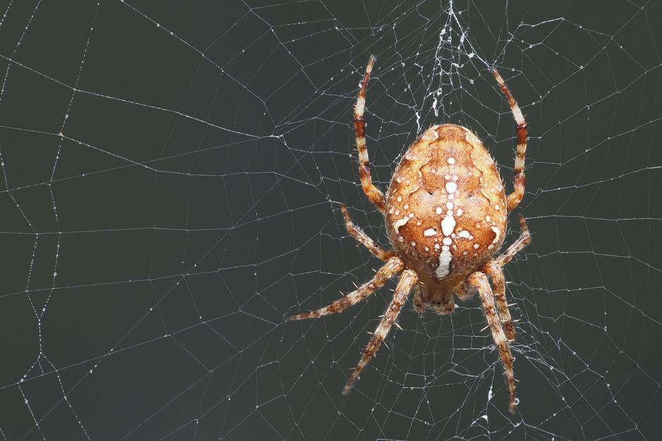 Dramatische afname van aantal kruisspinnen in onze contreien