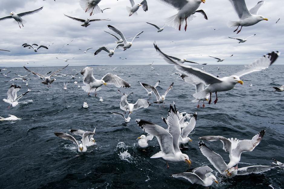 Waarom de zilvermeeuw evolueert van zeevogel naar stadsbewoner