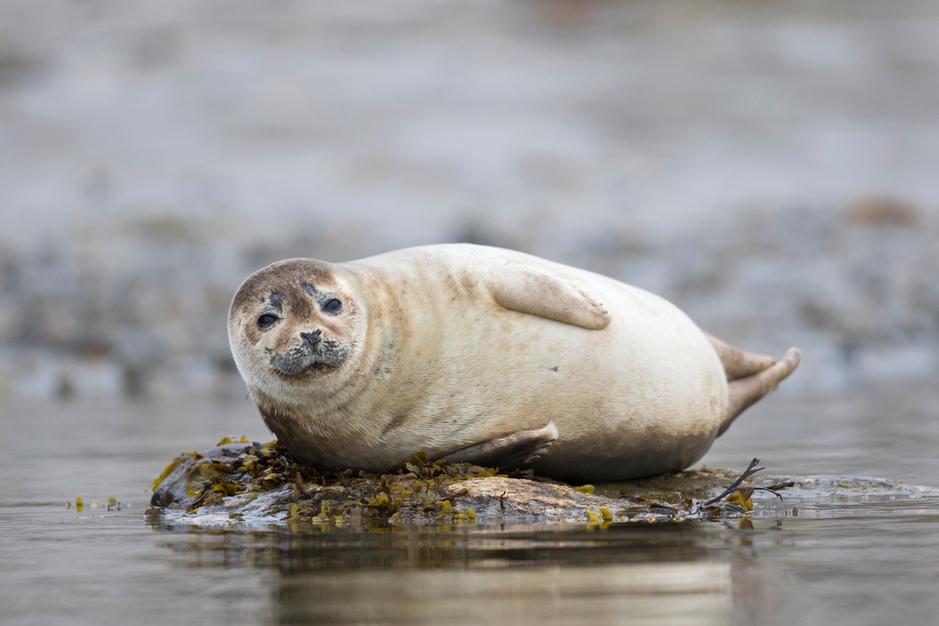 Beestenboel: zeehonden worden toeristische attractie aan Vlaamse kust
