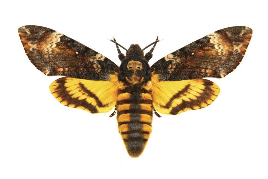 Beestenboel: de doodshoofdvlinder is in staat om geluid te maken als hij bang is