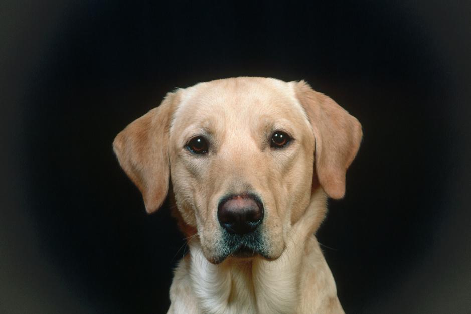 Mythes over honden doorbroken: 'Labradors kindvriendelijk en dobermanns agressief? Onzin'