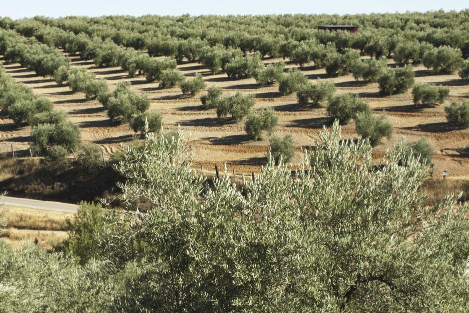 Waarom wijnmakers vaak ook olijfolie maken en omgekeerd