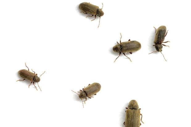 Beestenboel: waarom de kleine houtkever beter kan tuinieren dan de mens