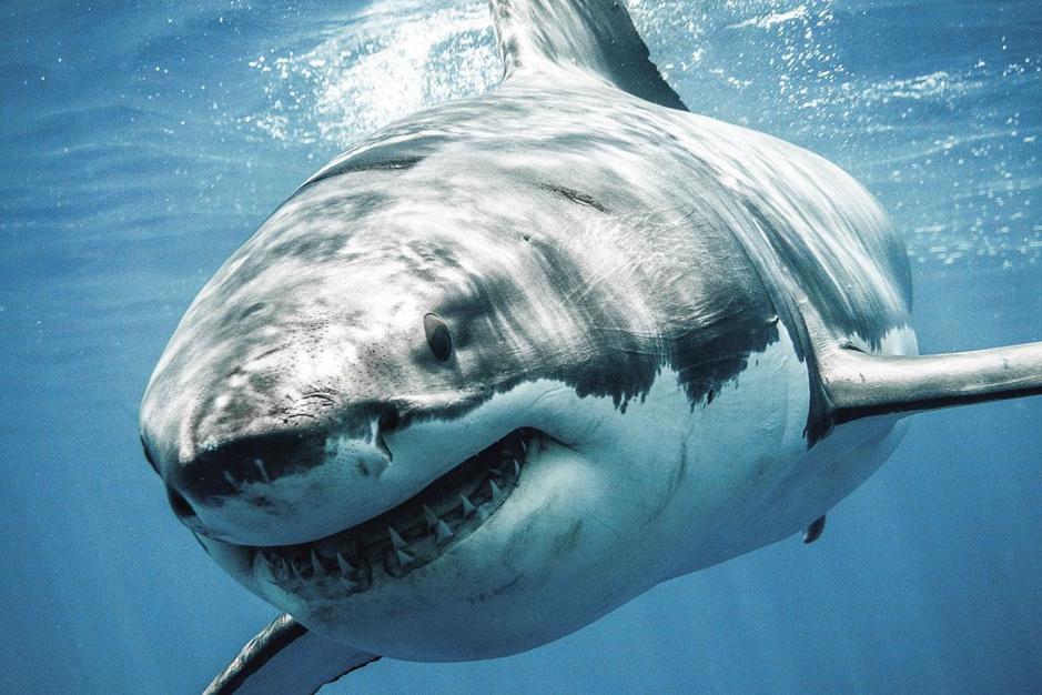 Haaien overleefden alles, maar overleven ze ook de mens?