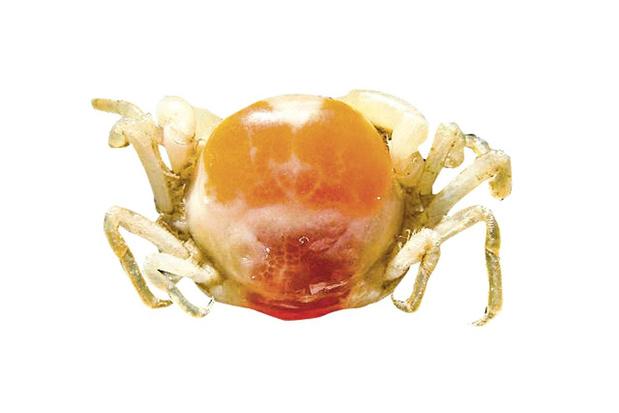 Zijn erwtenkrabbetjes parasieten of mee-eters? Voer voor discussie