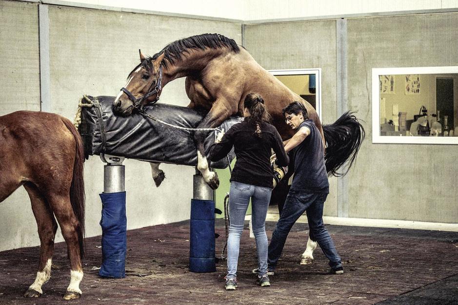 Paardenfokkers in België: 'Je moet nee kunnen zeggen als een rijke Aziaat 10 miljoen biedt'