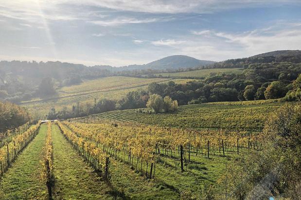 Kruidige wijn met een groenige schijn: maak kennis met grüner veltliner
