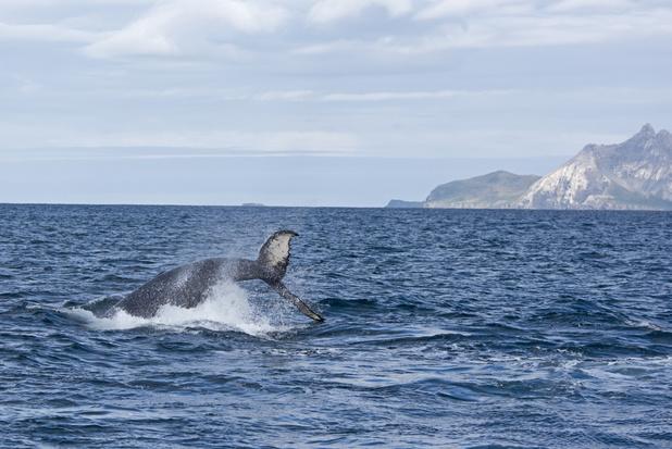 Walvissen zijn weer terug bij Antarctische eiland Zuid-Georgië