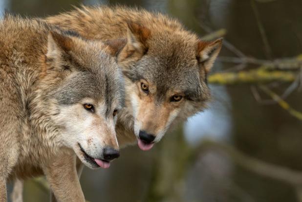 De terugkeer van de wolf in België: alles wat u moet weten