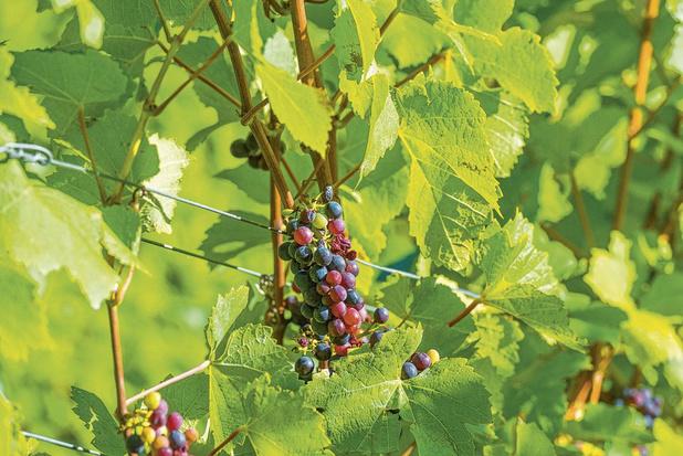 Premier symposium du vin flamand