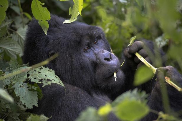 Berggorilla's die zingen tijdens het eten voor het eerst vastgelegd op film