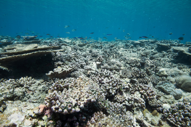 Nieuw onderzoek: koralen kunnen tegen 2100 verdwenen zijn