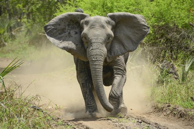 Aantal gedode olifanten in Mozambique blijft dalen
