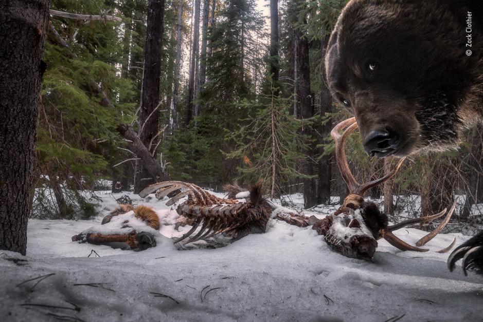 Van een berenselfie tot verliefde raven: dit zijn de winnaars van Wildlife Photographer of the Year wedstrijd
