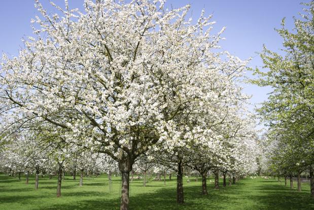 Vlaamse fruittelers vragen waardering met bloesemactie en wandelingen