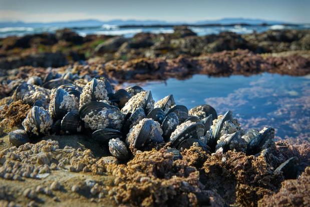 Miljoenen zeedieren gestorven door hittegolf in Canada en de VS