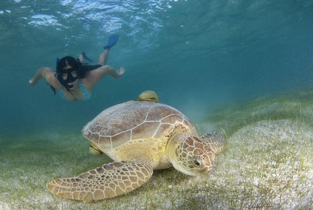 Video: schildpadden worden agressief wanneer toeristen ze voeren