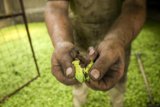 Poperinge wil officiële certifiëring voor plantmateriaal van hop