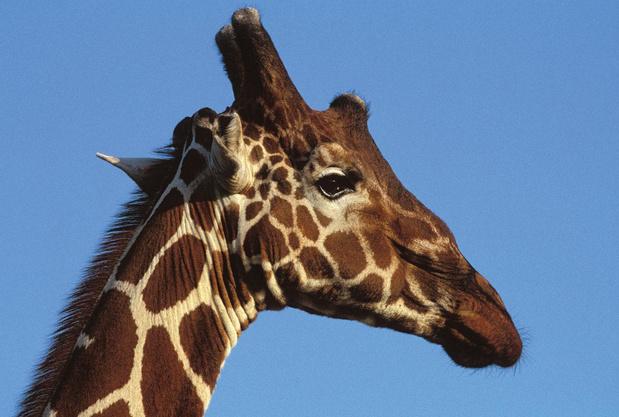 Giraffenvriendschap