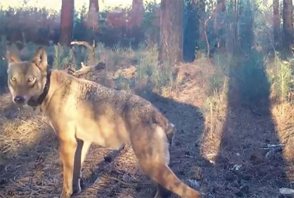 Factcheck: Nee, wolf liep niet naast eettent van jeugdbeweging