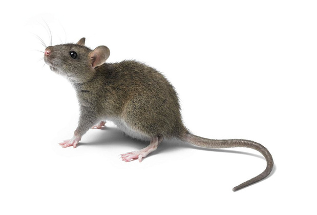 A Schaerbeek, les rats en vacances