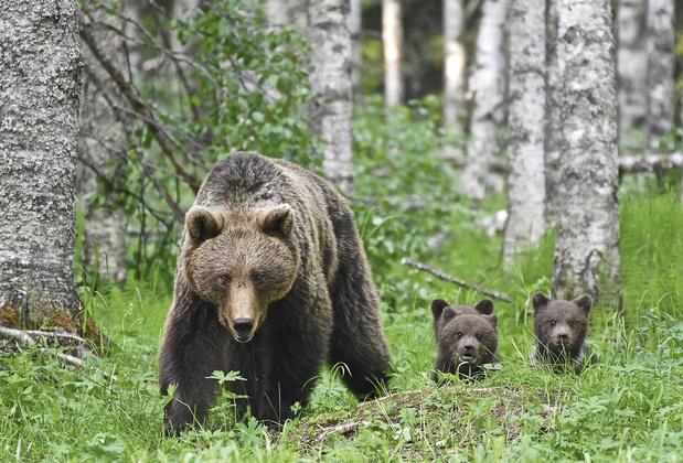 Observer les ours dans la taïga finlandaise