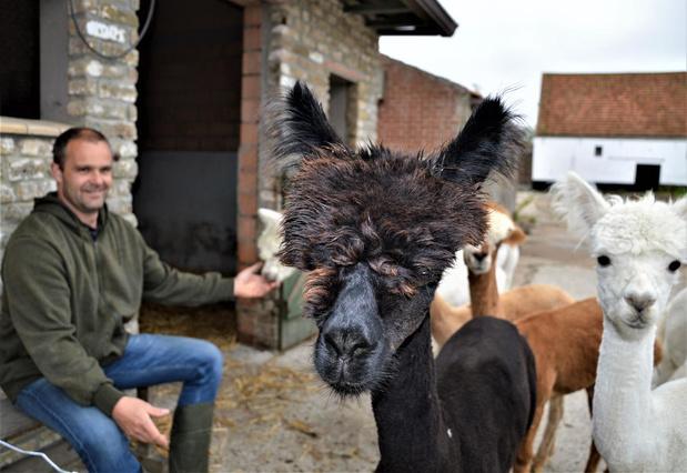 Droomvacature: op stap gaan met twee schattige alpaca's