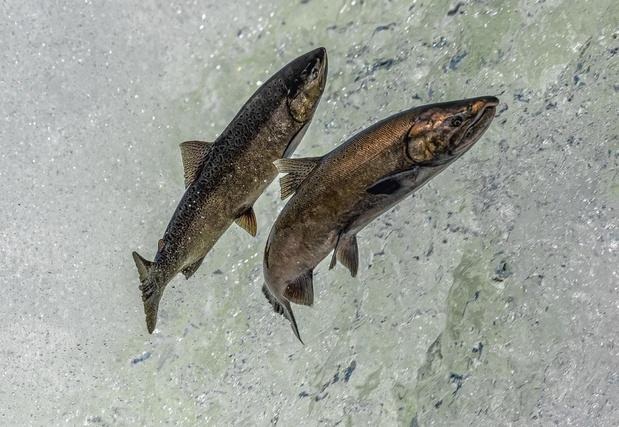 Il faut sauver le saumon royal