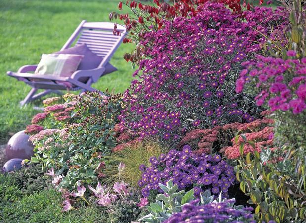 Uitbundige asters in uw tuin