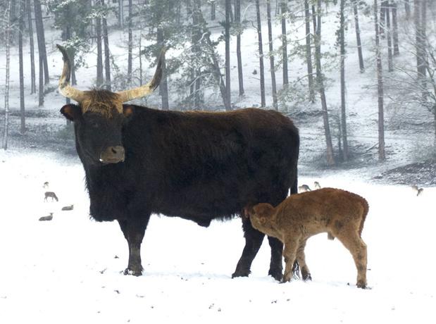 Baby oeros en Przewalskipaardje geboren in het Wildpark van Han