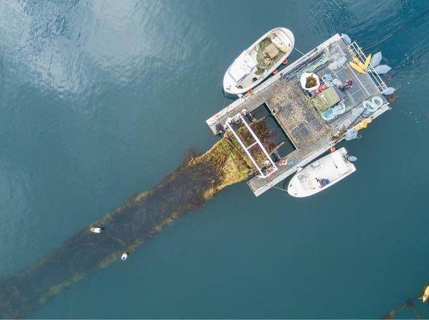 Eerste zeewierboerderij ter wereld komt voor onze kust