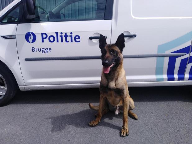 Maak kennis met Ciske, de nieuwe patrouillehond van de Brugse politie