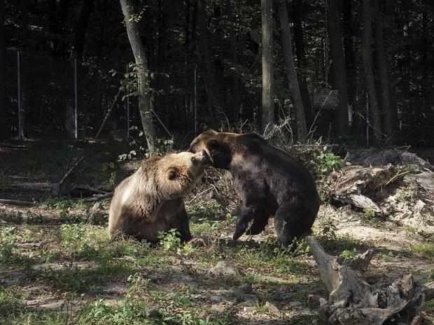 Au secours des ours bruns