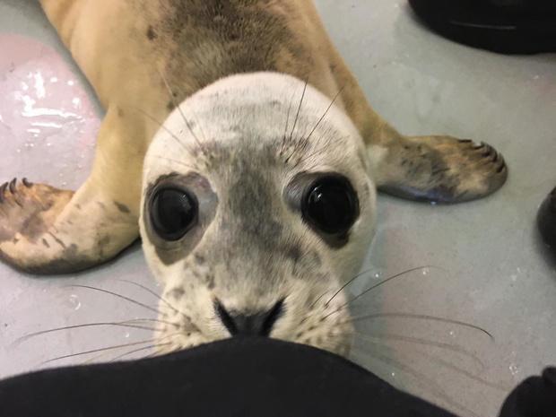 Sea Life vangt vier zeehondenpups op