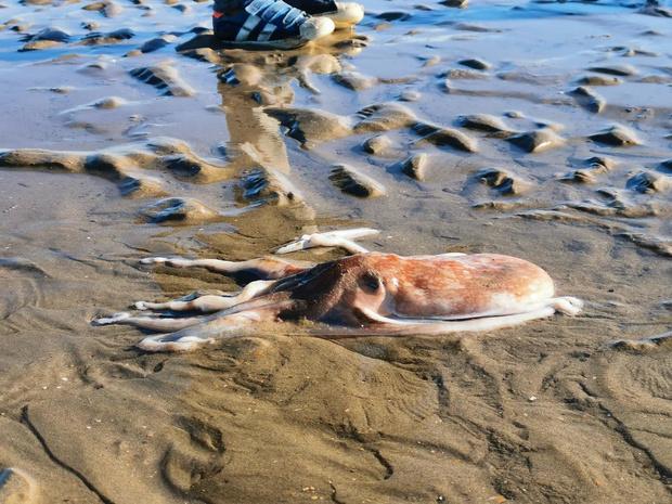 Zeldzame inktvis 'kleine achtarm' gevonden op het strand