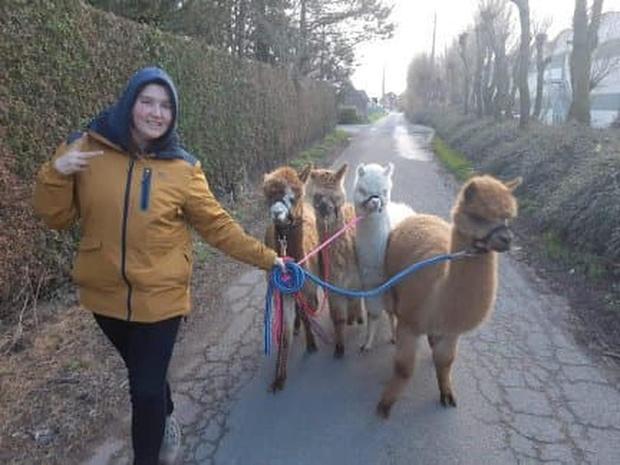 Wandelen met alpaca's is hype in Otegem