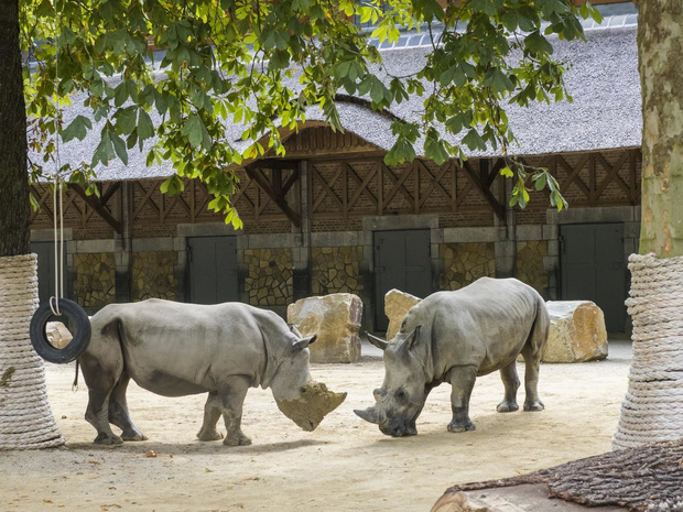 Opnieuw witte neushoorns in de Antwerpse ZOO
