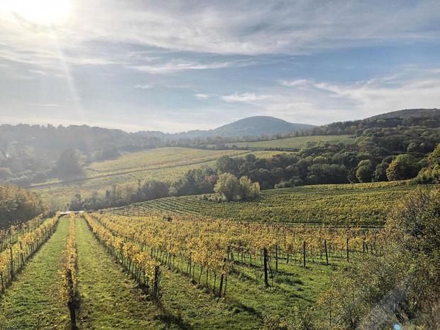Vins & co: zoom sur le Grüner Veltliner