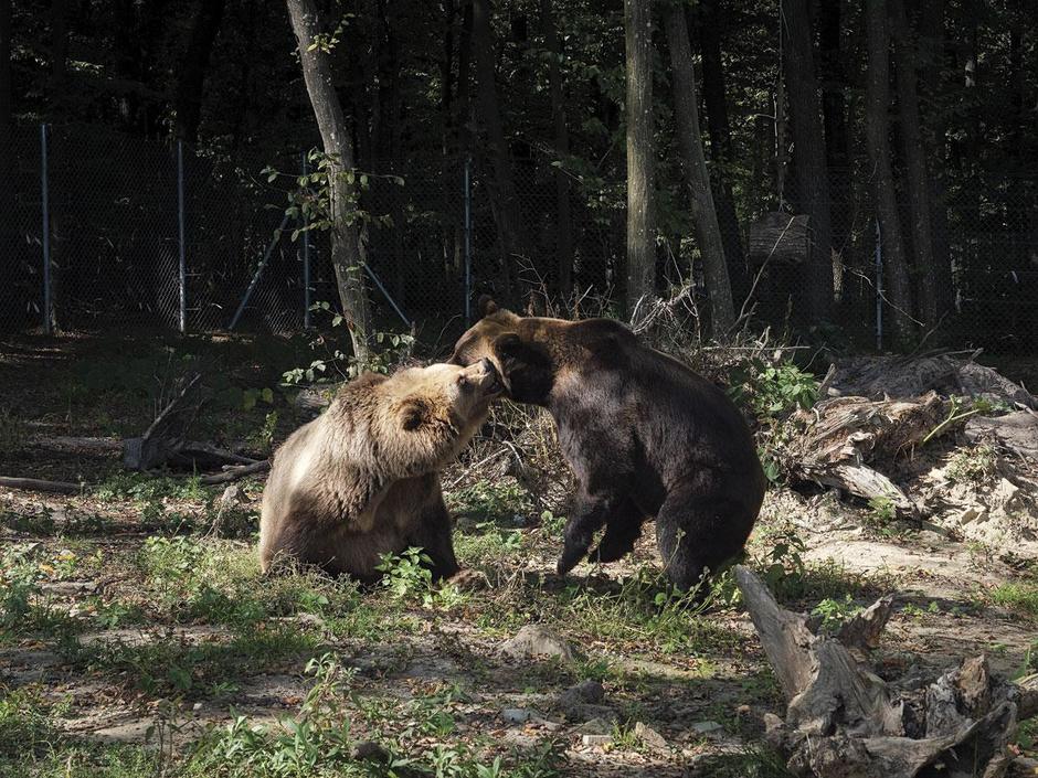 Au secours des ours bruns (en images)