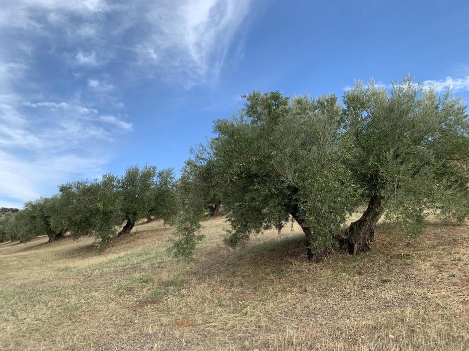 Een goeie olijfolie ruikt als een grasveld