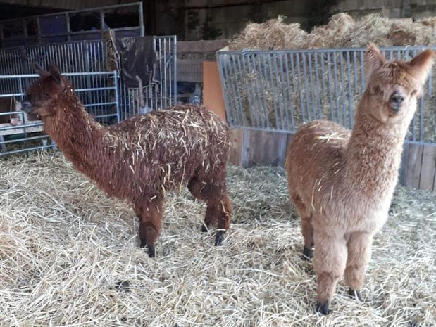 """Dieven stelen alpaca op Waregemse hoeve: """"Beloning voor gouden tip"""""""