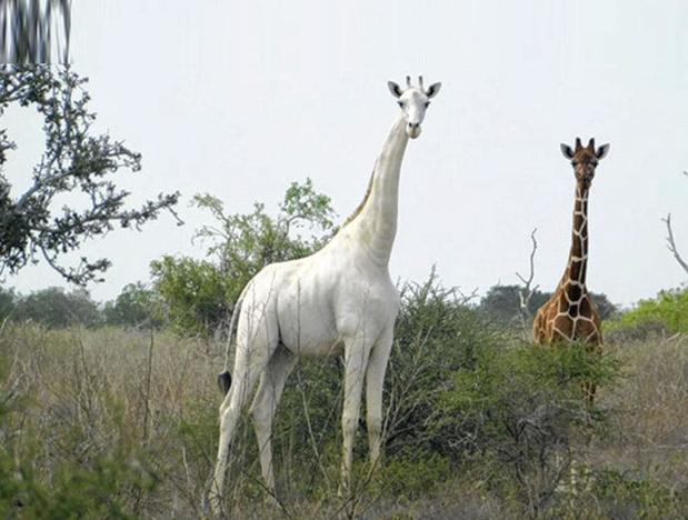 De giraf als witte raaf