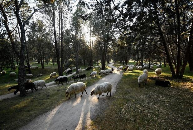 A Madrid, un troupeau de 500 moutons veille sur le plus grand parc de la ville